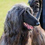 Afghan Hound - A Dog You Love